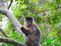 Affezufuhren auf Banane im Wald Stockbilder