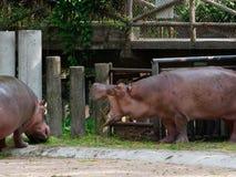 Affichage de baîllement de menace d'hippopotame ou d'hippopotame tout en mangeant l'herbe verte dans un zoo photos libres de droits