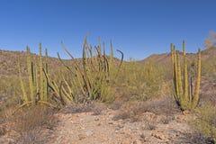 Affichage de cactus de tuyau d'organe dans le désert photo libre de droits