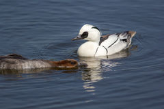 Affichage de canards d'élevage Smew femelle masculin et docile aquatique Images libres de droits