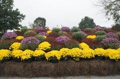 Affichage de chrysanthème Photo stock