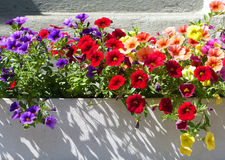 Affichage de fleur d'été Photo libre de droits