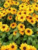 Affichage de fleur de Susan observé par noir Images libres de droits