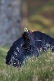 Affichage de mâle adulte d'urogallus de Tetrao de tétras Photographie stock