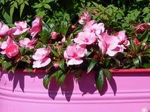 Affichage de rose d'été Images stock