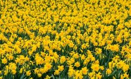 Affichage vibrant et coloré des jonquilles jaunes dans les Cornouailles du sud-est images libres de droits