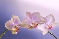 Affiche avec l'orchidée Photographie stock libre de droits
