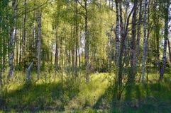 Affiche de motivation de citation de beau de printemps bosk de bouleau Photographie stock libre de droits