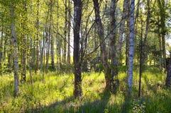 Affiche de motivation de citation de beau de printemps bosk de bouleau Photo stock