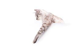Affiche vide de chat Image libre de droits