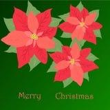 Affiche vrolijke Kerstmis, drie poinsettia op groene wi als achtergrond Royalty-vrije Stock Fotografie