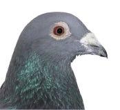 Affichez le pigeon Image libre de droits