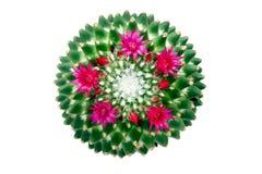 Affinis del Mammillaria del cactus Imagen de archivo libre de regalías