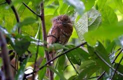 Affinis di Frogmouth Batrachostomus di Javan Frogmouth Blyth Fotografie Stock