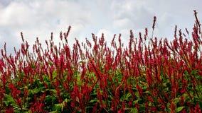 Affinis 'flor vermelha de Persicaria de Darjeeling' no campo Foto de Stock