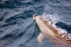 Affioramento del delfino con i lotti di aria fotografia stock