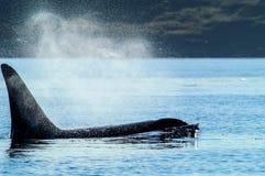 Affioramento dell'orca in Haro Straights Fotografia Stock