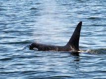 Affioramento maschio dell'orca Immagine Stock