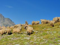 Affolli le pecore nella cima delle montagne Fotografia Stock Libera da Diritti