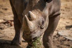 Affronto di rinoceronte Fotografie Stock Libere da Diritti
