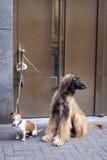 Afgańczyk dźwigarki i psa Russel czekanie Zdjęcia Royalty Free