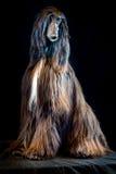 Afgański charcica psa portret na czarnym tle zdjęcie royalty free