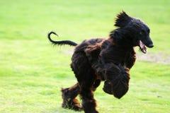 afgańczyka psa ogara bieg Zdjęcie Stock