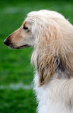 afgan κυνηγόσκυλο Στοκ Εικόνες