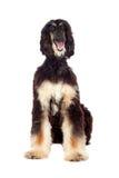 Afgan-hound dog Royalty Free Stock Image