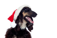 Afgan-hound dog with Santa hat Royalty Free Stock Image
