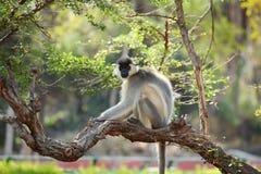 Afgedekte aap Langur in boom Stock Foto's