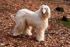 Afghaan hond-3 Royalty-vrije Stock Afbeelding