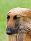 Afghaans hondenportret met exemplaarruimte Stock Afbeelding