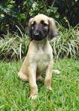 Afghaans hondenpuppy Stock Afbeeldingen