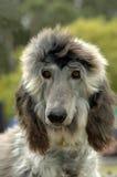Afghaans puppy Royalty-vrije Stock Foto's
