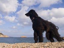 Afghaanse hond Royalty-vrije Stock Foto's
