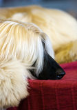 Afghaanse Hond Stock Fotografie