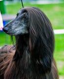 Afghaanse hond Stock Afbeeldingen