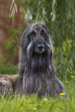 Afghaanse hond Royalty-vrije Stock Afbeelding