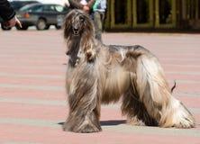 Afghaanse Hond onder bevel Stock Afbeeldingen