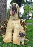 Afghaanse hondenpuppy en vader Stock Fotografie