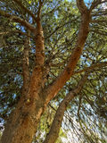 Afghaanse Pijnboomkroon Royalty-vrije Stock Foto