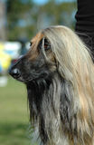 Afghan. A beautiful magnificent Afghan hound dog head portrait watching other dogs in the park outdoors Royalty Free Stock Images