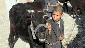 Afghan boy with cow Royalty Free Stock Photos