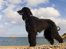 Afghan dog Stock Photo