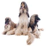 Afghan dog Stock Image