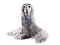 Afghan dog Stock Photography
