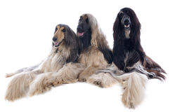Afghan dog Royalty Free Stock Photo