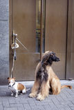 Afghan dog and jack russel waiting Royalty Free Stock Photos