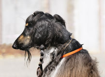 Afghan dog portrait Stock Photo